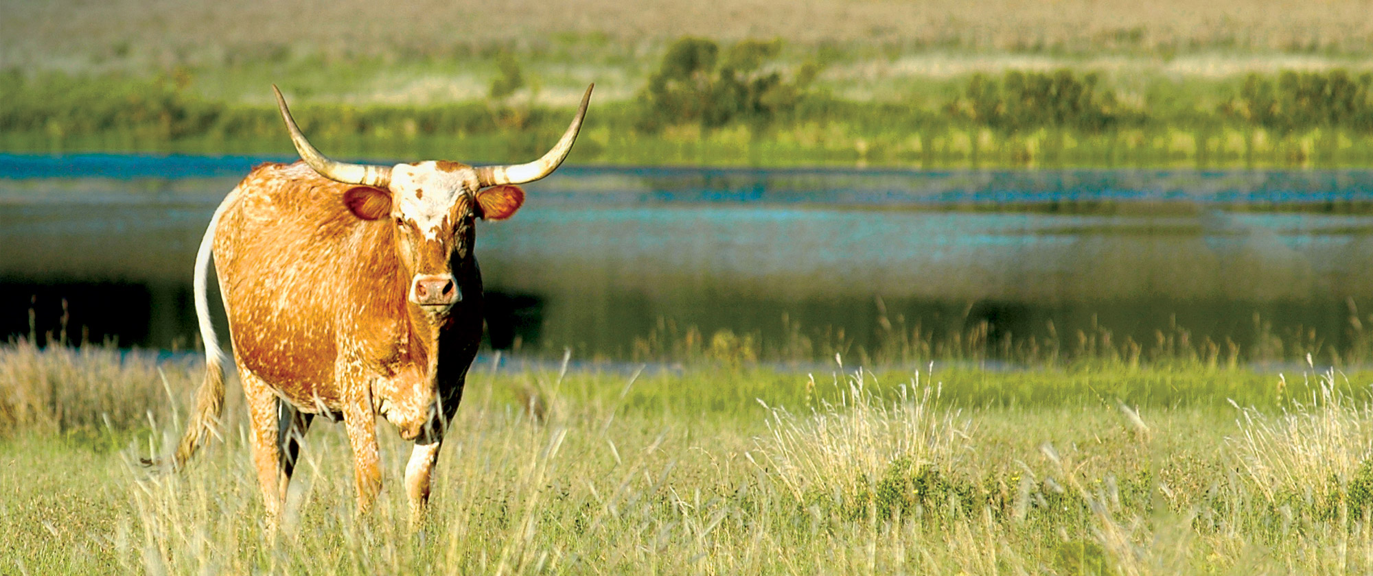 Longhorn Fort Worth River